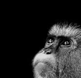 Mona Monkey. Black and white closeup - Cercopithecus mona Stock Photography