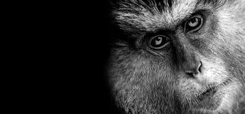 Mona Monkey royalty free stock photography