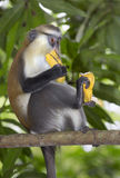 Mona monkey (Cercopithecus mona) in a tree. Royalty Free Stock Image