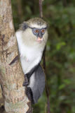 Mona monkey (Cercopithecus mona) in a tree. Stock Images