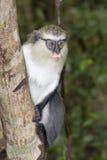 Mona monkey (Cercopithecus mona) in a tree. Stock Images