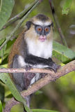 Mona monkey (Cercopithecus mona) in a tree. Stock Photography
