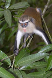 Mona monkey (Cercopithecus mona) in a tree. Stock Photos