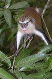 Mona monkey (Cercopithecus mona) in a tree. Stock Photos