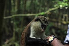 MONA MONKEY, CERCOPITHECUSMONA,  IS FACINATED BY A TOURIST WRIST WATCH  LEKKI CONSERVATION CONSERVATION CENTRE Royalty Free Stock Photo