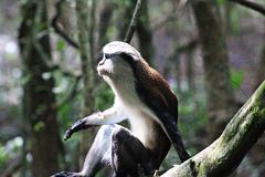 MONA MONKEY, CERCOPITHECUSMONA, RELAXING AT LEKKI CONSERVATION CONSERVATION CENTRE Stock Photos