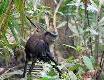 MONA MONKEY, CERCOPITHECUSMONA, YOUNG MONA GO SOLO FORAGING AT LEKKI CONSERVATION CONSERVATION CENTRE Royalty Free Stock Photos