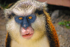 Mona Monkey Frontal Face Portrait. Cute Portrait of mona monkey, animal living in Africa and Grenada (Caribbean). Blue, brown fur with white rump, bright orange royalty free stock images