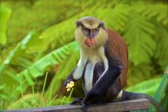 Mona monkey. Sitting on the fence, Grenada, Caribbean royalty free stock photo