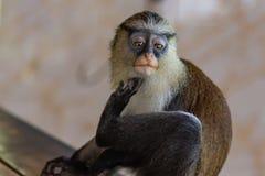 Mona monkey staring at me royalty free stock images