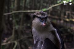 MONA MONKEY, CERCOPITHECUSMONA, AT ALER AT   LEKKI CONSERVATION CONSERVATION CENTRE Royalty Free Stock Image