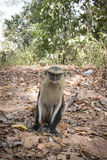 Mona monkey in Tafi Atome in the Volta Region in Ghana. Mona monkey in the town of Tafi Atome where they are worshipped by the villagers in the Volta Region in Royalty Free Stock Image