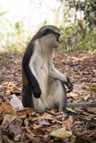 Mona monkey in Tafi Atome in the Volta Region in Ghana. Mona monkey in the town of Tafi Atome where they are worshipped by the villagers in the Volta Region in Stock Photography