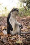 Mona monkey in Tafi Atome in the Volta Region in Ghana Stock Photography