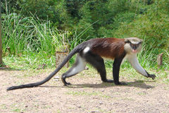 Mona Monkey Walking Fotografia de Stock