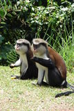 Mona monkeys in Grenada. Two Mona monkeys in Grenada, the caribbean royalty free stock photo