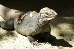 Mona's iguana Stock Photography