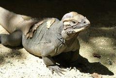 Mona's iguana. Iguana from the island of Mona at Puerto Rico Stock Photography