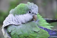 Monachus Argentina di Myiopsitta del pappagallo Immagine Stock