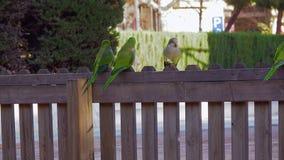 Monachus di Parakeets Myiopsitta del monaco di tre pappagalli che mangia pane stock footage