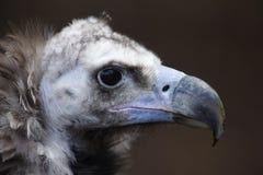 Monachus euroasiatico del Aegypius dell'avvoltoio nero Immagine Stock