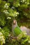 Monachus Myiopsitta попугая длиннохвостого попугая монаха MS садясь на насест на дереве b Стоковое Изображение