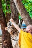 Monaco buddista che alimenta con il latte una tigre di Bengala in Tailandia Immagine Stock Libera da Diritti
