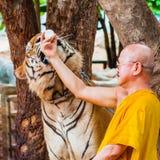 Monaco buddista che alimenta con il latte una tigre di Bengala in Tailandia Fotografia Stock