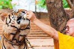 Monaco buddista che alimenta con il latte una tigre di Bengala in Tailandia Fotografie Stock