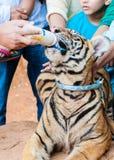 Monaco buddista che alimenta con il latte una tigre di Bengala in Tailandia Immagini Stock