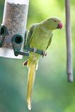 Monaco collared parakeet, Psittacula krameri Stock Images