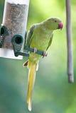 Monaco collared parakeet, Psittacula krameri Stock Images