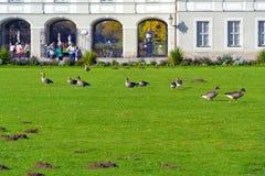 MONACO DI BAVIERA, GERMANIA - 14 OTTOBRE 2017: Oca grigia che mangia erba nella f Fotografia Stock Libera da Diritti