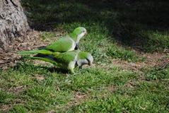 Monaco Parakeet Fotografia Stock Libera da Diritti