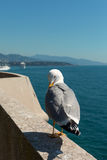 Monaco sea gull. Stock Images
