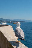 Monaco sea gull. Stock Image