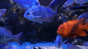 Monaco - Tropical fish in blue deep water stock footage