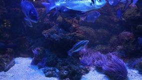 Monaco - Tropical fish in blue deep water stock video footage