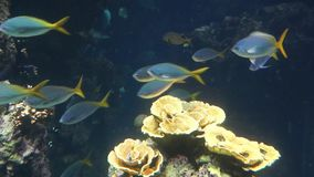 Monaco - Tropical fish in blue deep water stock video
