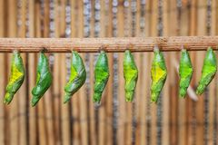 Monacrch batterfly chrysalis Royalty Free Stock Images