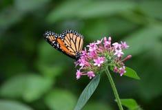 Monarca蝴蝶 库存照片