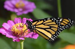 monarca immagini stock libere da diritti