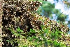 monarca fotografia stock libera da diritti