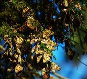 monarca fotografie stock libere da diritti