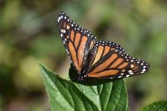 monarca Immagine Stock Libera da Diritti