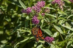 monarca Foto de archivo