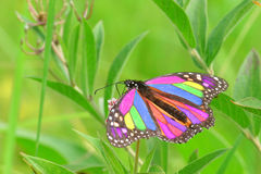 Monarca-Borboleta bonita Fotografia de Stock Royalty Free