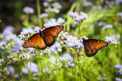 Monarca Butterfles Immagine Stock Libera da Diritti