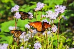 Monarca Butterfles Fotos de archivo libres de regalías