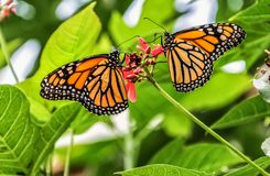 Couple of Monarch Butterflies on a flower Royalty Free Stock Photography